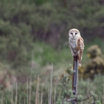 Barn Owl, Isle of Mull