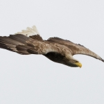 White Tailed Eagle, Isle of Mull