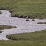 White Tailed Eagle, Isle of Mull