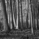 Beech Wood, Nawton