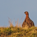 Red Grouse at Sunrise