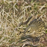 Meadow Pipit, Rosedale