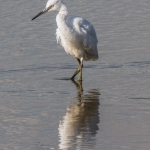 Little Egret, Blacktoft Sands
