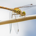 Dragonfly on Washing Line