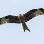 Red Kite, Harewood House