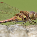 Dragonfly, Castle Howard