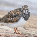 Turnstone Bridlington