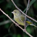 Green Finch, Staveley, Minskip