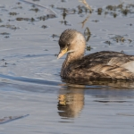 Little Grebe, Leighton Moss