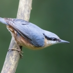 Nuthatch, Leighton Moss
