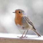 Robin, Leighton Moss