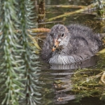 Coot chick, Thorpe Perrow