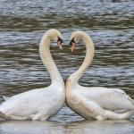 Mute Swans, Wheldrake Ings