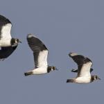Lapwings, Wheldrake Ings