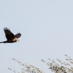 Marsh Harrier, Wheldrake Ings