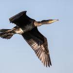 Cormorant, Wheldrake Ings
