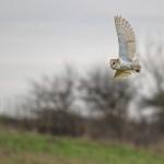 Barn Owl, Bempton