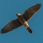Kestrel, Filey Brig