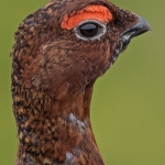 Red Grouse, Blakey