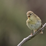 Willow Warbler, Hutton-le-Hole