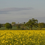 Oil Seed Rape, Sinnington