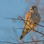 Kestrel, Castle Howard