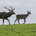 Red Deer, Studley Royal
