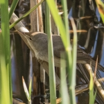 Reed Warbler, Tophill Low