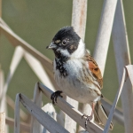 Reed Bunting, Tophill Low