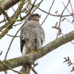 Sparrowhawk, Tophill Low