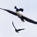 White Tailed Eagle and Hooded Crows