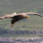 White Tailed Eagle, Mull