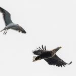 White Tailed Eagle, Mull