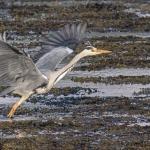 Heron, Isle of Mull