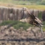 2018 - White Tailed Eagle, Mull