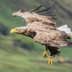 2018 - White Tailed Eagle, Mull