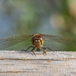 Common darter, Tophill Low