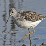Greenshank, Tophill Low