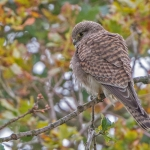 Kestrel, Tophill Low